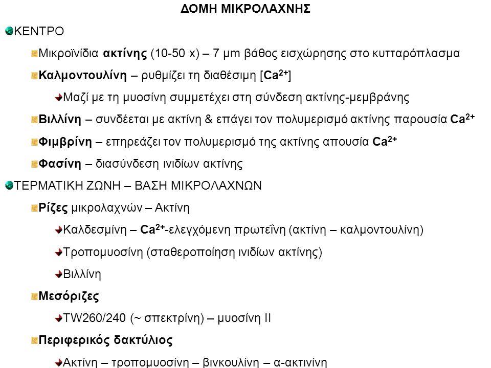 Καλμοντουλίνη – ρυθμίζει τη διαθέσιμη [Ca2+]